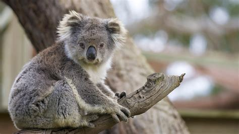koala san diego zoo animals plants