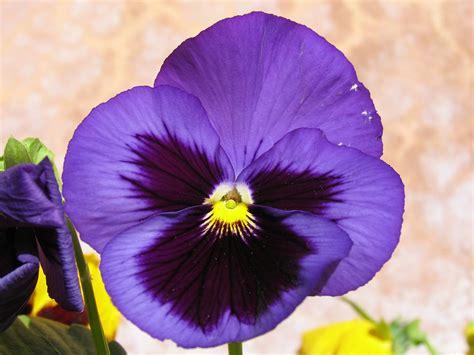 pansy flower pansy flower wallpaper full desktop backgrounds