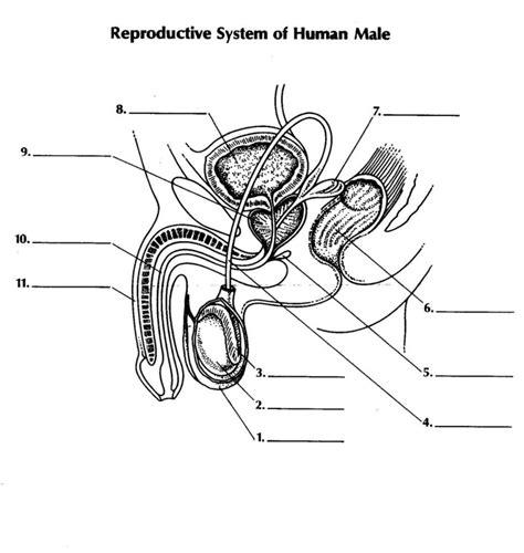 Male Reproductive System Diagram  Diagram Site