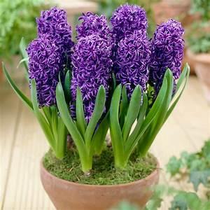 Buy Hyacinth Blue Pearl 14  15cm