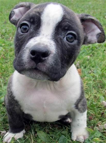 Pitbull Pit Puppies Bull Nose Pitbulls Puppy