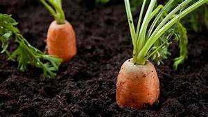 How To Grow Carrots   7 Step By Step Carrot Growing Guide
