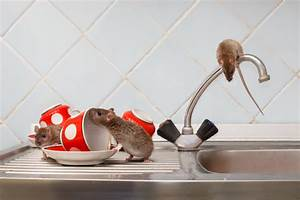 Comment Se Debarrasser Des Rats : comment se d barrasser des rats toutes les m thodes guidenuisibles ~ Melissatoandfro.com Idées de Décoration