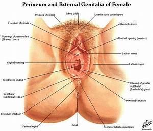 Female Genitalia Diagram
