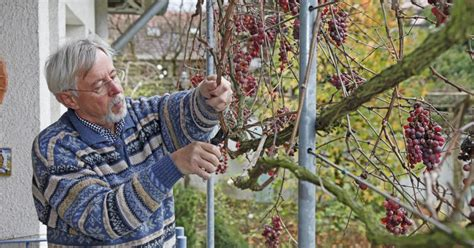Im Herbst Schneiden by Weinreben Schneiden Mein Sch 246 Ner Garten
