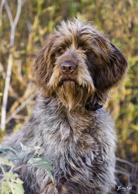 german wirehaired pointing griffon shedding wirehaired pointing griffon breed history and some