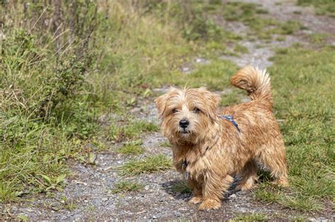 dog standing terrier norfolk andalusian crossbreed known spanish pure horse female pre years road happy