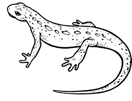 newt coloring newt coloring