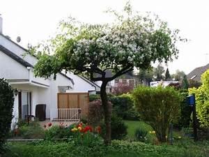 Kleine Bäume Vorgarten : zierkirsche shirotae b ume als sonnenschirme seite 1 ~ Michelbontemps.com Haus und Dekorationen