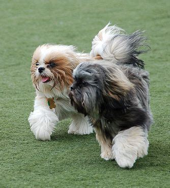 small dogs that do not shed five small breeds that don 180 t shed much pethelpful