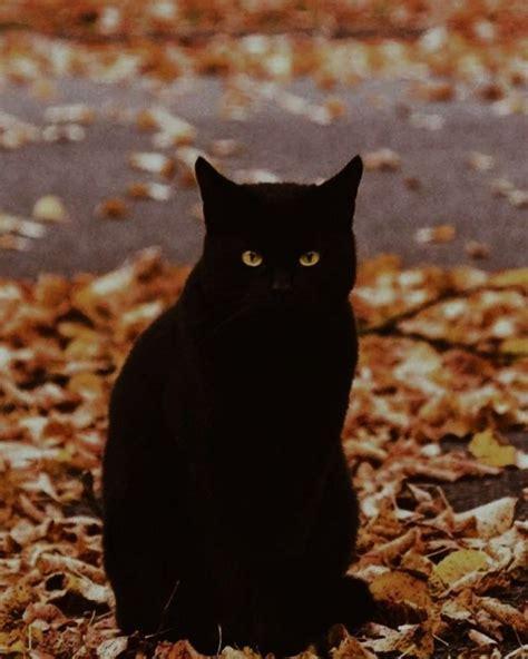 spooky autumn black cat aesthetic cat aesthetic black cat