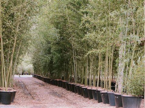 bambou geant en pot les bambous bambous