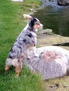 miniature american australian shepherd