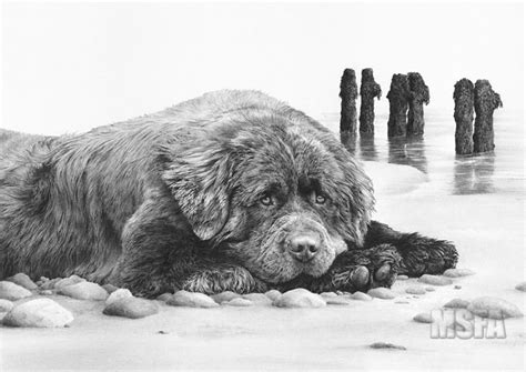 newfoundland dogs fine art dog print  mike sibley