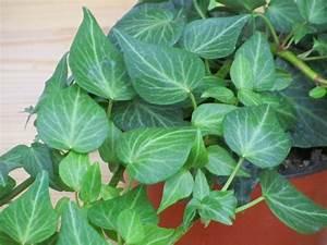 Kübelpflanzen Winterhart Schattig : hedera helix 39 tear drop 39 efeu pflanzen versand f r die ~ Lizthompson.info Haus und Dekorationen