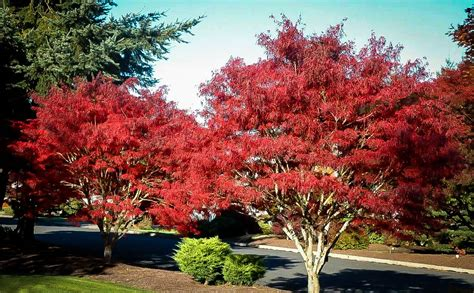 japanese maple ribbon leaf japanese maple the tree center