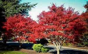 [japanese maple tree]