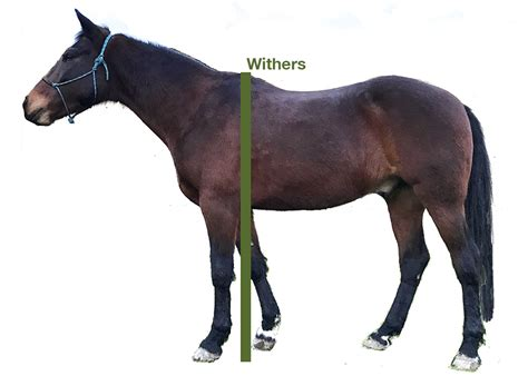 horse height measure hands measuring pony