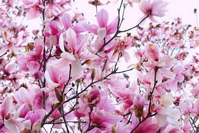 Magnolia Wallpapers Tree Rose Flower Desktop Backgrounds
