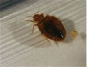 No bed bugs america39s mattress hawaii promotes new for Bed bugs hawaii