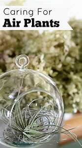 Caring For Air Plants (Tillandsia) - House of Hawthornes