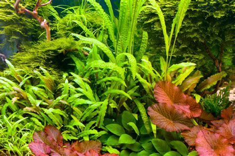 aquarium pflanzen düngen aquarium pflanzen 187 ein 220 berblick 252 ber die arten pflege