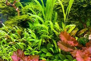 Pflanzen Für Aquarium : aquarium pflanzen ein berblick ber die arten pflege ~ Buech-reservation.com Haus und Dekorationen