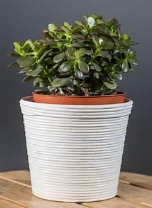Chinesischer Geldbaum Kaufen : geldbaum crassula ovata g nstig online kaufen ~ Michelbontemps.com Haus und Dekorationen