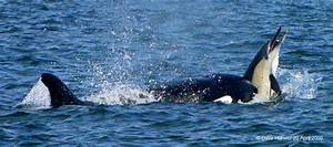 Orcas hunting in False Bay - Africa Geographic
