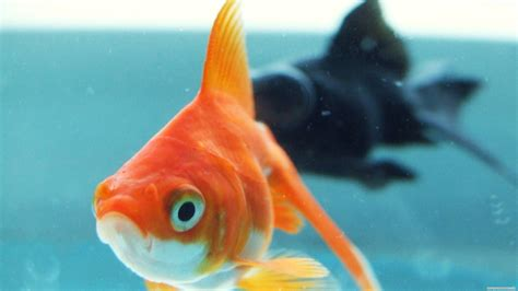 Animated Goldfish Wallpaper - gold fish wallpaper 67 images