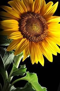Stunning Sunflower | SUNFLOWERS - Girassóis | Pinterest