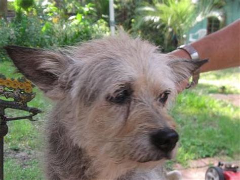 wire haired rat terrier dog breeds picture