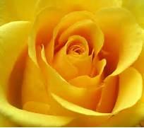 COLORS OF ROSES  YELLOW ROSES  Beautiful Pictures Of Yellow Roses