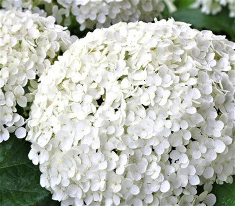 schneeball hortensie schneiden dehner schneeball hortensie strong annabelle 174 dehner garten center