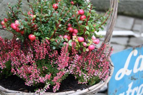 Winterpflanzen Für Balkon by Wie Herbstpflanzen Ohrw 252 Rmer Ausl 246 Sen Kitchencat