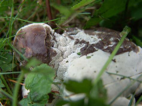Pilze Im Garten Bestimmen by Pilz E Im Garten Rasen Bestimmen Pilzbestimmung U