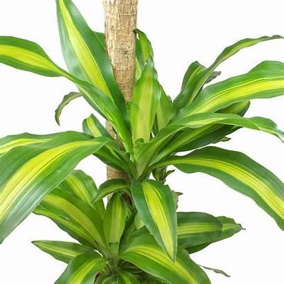 Dracaena Fragrans Massangeana Stem Multi Plants Plant