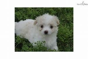 Chi-Poo - Chipoo puppy for sale near Dallas / Fort Worth ...