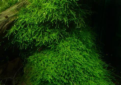 moos für aquarium top 5 easy to care aquatic moss aquascapers