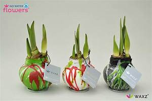 Amaryllis In Wachs : wax covered amaryllis bulbs french gardener dishes ~ Lizthompson.info Haus und Dekorationen