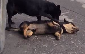 A Dog Desperately Tries To Revive His Dead Friend After He ...