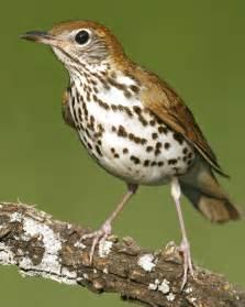 wood thrush audubon field guide
