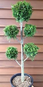 Johannisbeeren Hochstamm Kaufen : thuja plicata ponpon lebensbaum formschnitt bonsai ~ Lizthompson.info Haus und Dekorationen