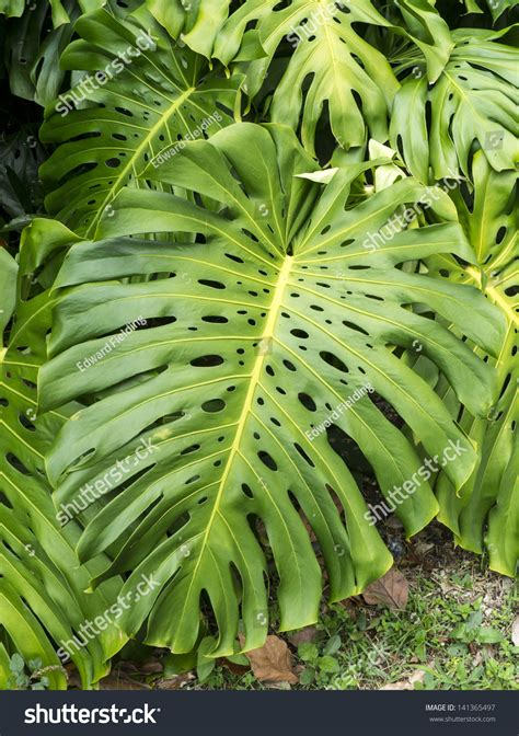 tropical plants with large leaves close tropical plant large leaves stock photo 141365497 shutterstock