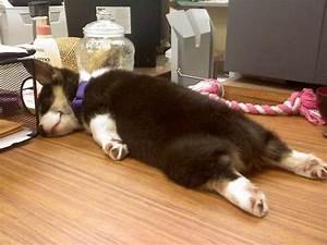 cute-sleeping-corgi-puppy