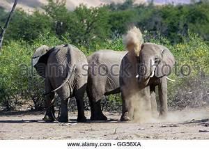 Staub In Der Wohnung : w ste elefanten w ste wohnung elefant afrikanischer elefant loxodonta africana africana ~ Eleganceandgraceweddings.com Haus und Dekorationen