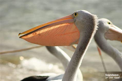 le de poche pelican les p 233 licans 224 lunettes du de san remo soundwave on the road de voyageurs par