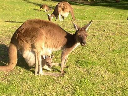 Kangaroo Reproductive Vaginas Female System Adapted Highly