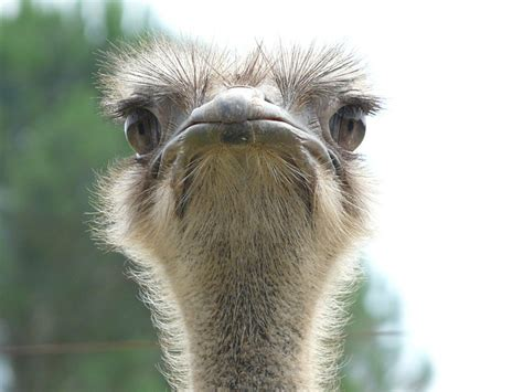 photo ostrich animal world   image