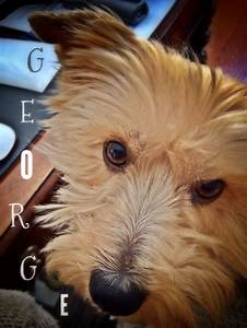 17 Best images about Yorkie Stuff on Pinterest   Pets ...